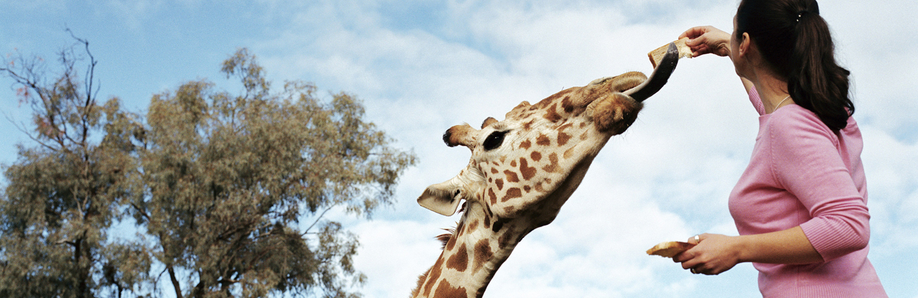 Lady feeding a Giraffe